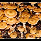 Honey fungus (Armillaria mellea) by Gordon Holmes