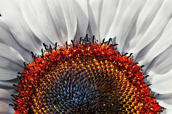 Sunflower, redux! by Eyal Nahmias