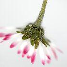 Daisy by cherryannette