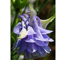 Double Columbine named Blue Photographic Print