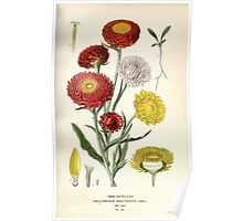 Favourite flowers of garden and greenhouse Edward Step 1896 1897 Volume 2 0187 Immortelles Poster