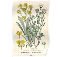 Favourite flowers of garden and greenhouse Edward Step 1896 1897 Volume 1 0084 Gold Dust and Sweet Alyssum Poster