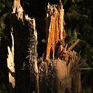 Felled Tree at Banff Springs by Roger Bernabo