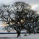 Trees in the snow at willand by Rob Hawkins