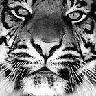 Sumatran Tiger BW by mrshutterbug