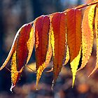 Fall Sumac - Dunrobin Ontario by Debbie Pinard