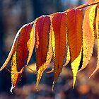 Fall Sumac - Dunrobin Ontario by Debbie Pinard