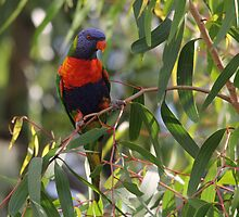 Swainsons Rainbow Lorikeet in Paperbark Sapling by kaety