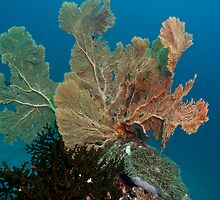 Fan Coral Andaman Sea Thailand by KOKOPEDAL