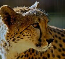 Safari West Cheetah by Ken Scarboro