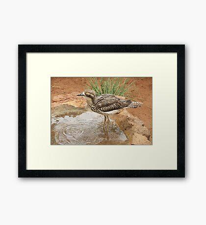A Bush Stone-curlew Framed Print