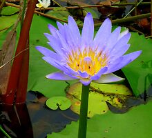 Water Lilly Cooroibah, QLD, 2. by Angela Gannicott