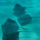 Sting Ray City, Cayman Islands by John Carpenter