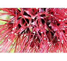 Red Bottle Brush in Zoom Photographic Print