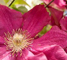 Pink Clematis by Belinda Osgood