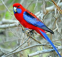 Crimson Rosella. Cedar Creek, Queensland, Australia. by Ralph de Zilva