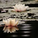 Drakensberg water lily. by Sharon Bishop