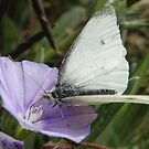 Cabbage White Butterfly - Adelaide, Australia by Dan & Emma Monceaux