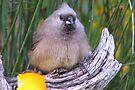 Muisvoël / Mousebird. by Elizabeth Kendall