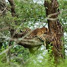 COMFORT ZONE? -  THE LEOPARD – Panthera pardus by Magriet Meintjes