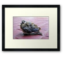 A baby dove Framed Print