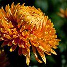 Yellow chrysanthemum close-up by Dfilyagin