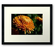 Yellow chrysanthemum close-up Framed Print