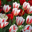 Tulip Patch - Red and White by Sophia Phoenix