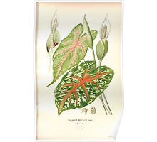 Favourite flowers of garden and greenhouse Edward Step 1896 1897 Volume 4 0251 Caladium Bicolor Poster