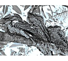 Tawny Frogmouth Family (2010) - In The Mango Tree Photographic Print