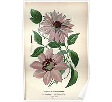 Favourite flowers of garden and greenhouse Edward Step 1896 1897 Volume 1 0015 Clematis Poster