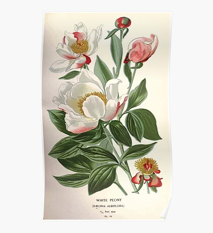 Favourite flowers of garden and greenhouse Edward Step 1896 1897 Volume 1 0050 White Peony Poster