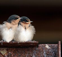 Welcome Swallow Chicks by Barb Leopold