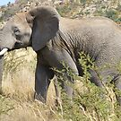 African Elephant in Pilanesberg National Park by Keith Richardson