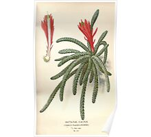 Favourite flowers of garden and greenhouse Edward Step 1896 1897 Volume 2 0127 Rat's Tail Cactus Poster