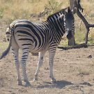 Zebra Glancing Back in Pilanesberg National Park by Keith Richardson