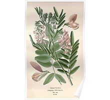 Favourite flowers of garden and greenhouse Edward Step 1896 1897 Volume 1 0207 Goat's Rue Poster