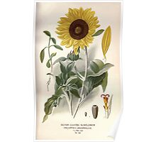 Favourite flowers of garden and greenhouse Edward Step 1896 1897 Volume 2 0193 Silver Leaved Sunflower Poster