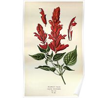Favourite flowers of garden and greenhouse Edward Step 1896 1897 Volume 3 0220 Scarlet Sage Poster