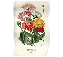 Favourite flowers of garden and greenhouse Edward Step 1896 1897 Volume 2 0190 Youth and Age Zinnia Poster