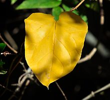 Yellow/Orange Leaf by imagetj