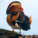 Mandarin Duck by Jane Best