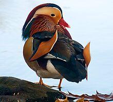 Mandarin Duck by Jane Best