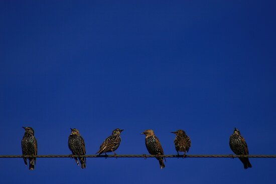 Birds on a Wire 1 by Viv Andrew