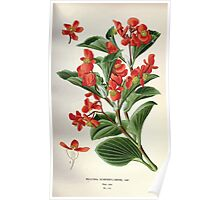 Favourite flowers of garden and greenhouse Edward Step 1896 1897 Volume 2 0118 Begonia Semperflorens Poster