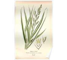 Favourite flowers of garden and greenhouse Edward Step 1896 1897 Volume 4 0281 Ribbon Grass Poster