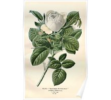 Favourite flowers of garden and greenhouse Edward Step 1896 1897 Volume 2 0025 Rose Baroness Rothschild Poster