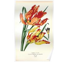 Favourite flowers of garden and greenhouse Edward Step 1896 1897 Volume 4 0215 Parrot Tulip Poster