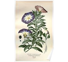 Favourite flowers of garden and greenhouse Edward Step 1896 1897 Volume 3 0134 Minor Convolvulus Poster
