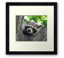 Sad raccoon eyes Framed Print
